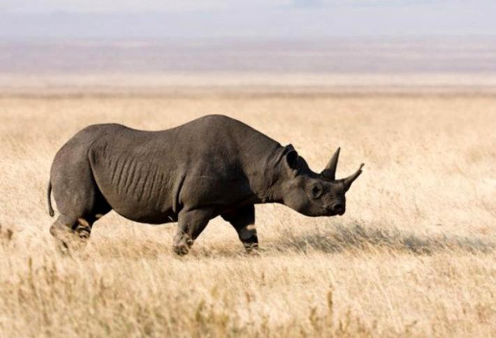 cherniy-nosorog