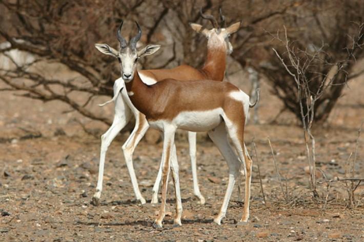 saharskaya-gazel