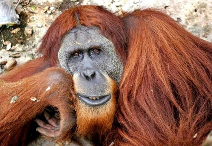 sumatranskiy-orangutan