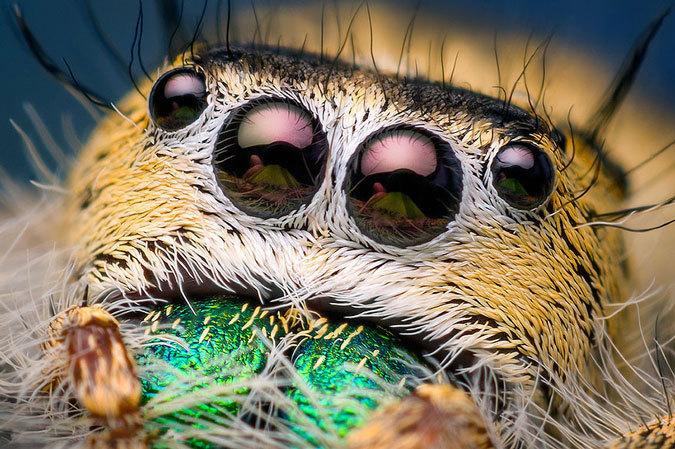 makrofotografii-paukov-skakunov-4