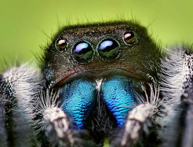 makrofotografii-paukov-skakunov-6