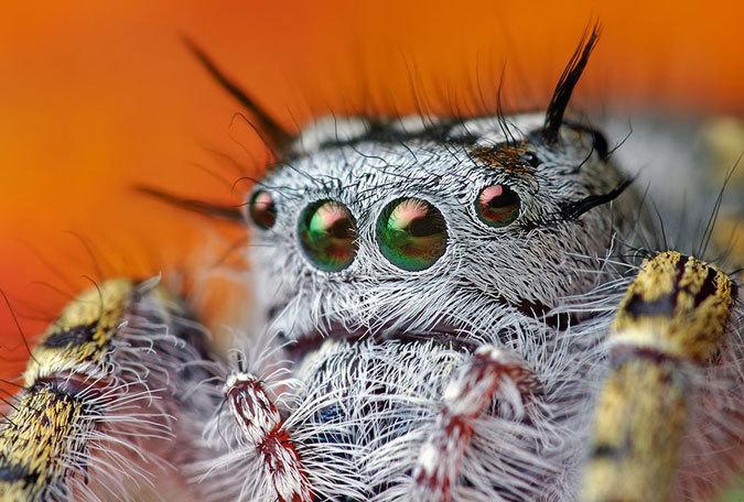 makrofotografii-paukov-skakunov-8