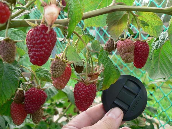 Урожайные сорта ремонтантной малины
