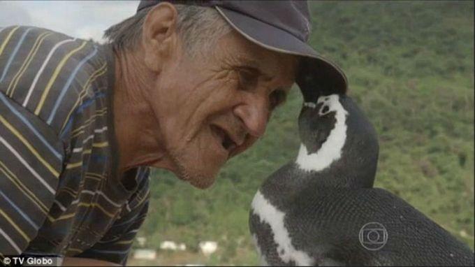 etot-pingvin-kazhdiy-god-proplivaet-8-tysach-km-chtoby-povidat-svoego-spasitelya-1