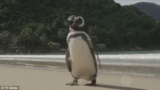 etot-pingvin-kazhdiy-god-proplivaet-8-tysach-km-chtoby-povidat-svoego-spasitelya-2