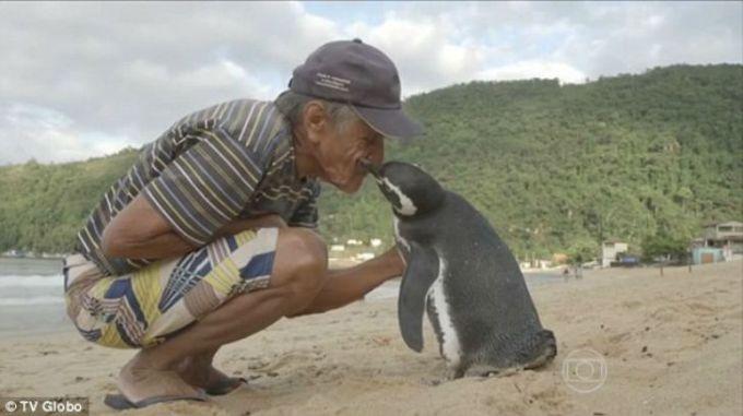 etot-pingvin-kazhdiy-god-proplivaet-8-tysach-km-chtoby-povidat-svoego-spasitelya-6