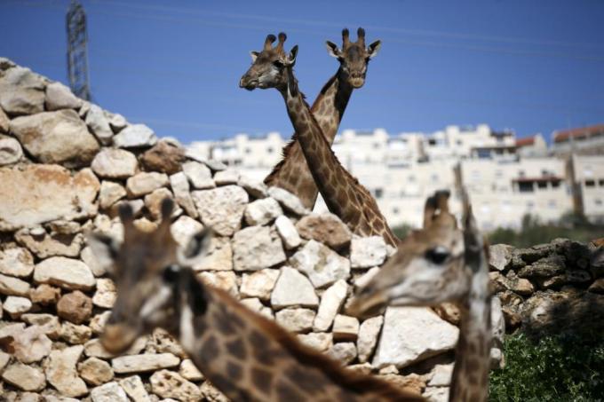Жирафы в Иерусалимском библейском зоопарке, 24 февраля 2016 года.