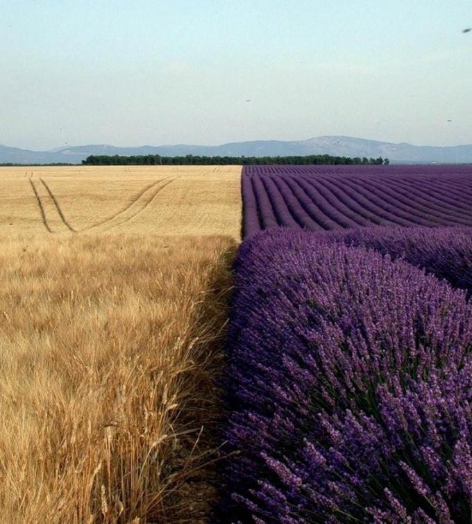 Пшеница и лаванда.