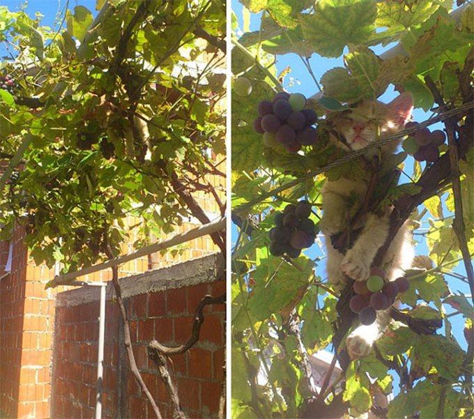 Котенок решил поспать среди винограда.