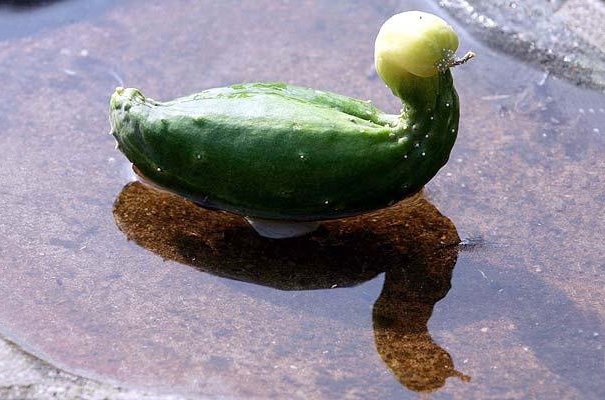 Огуречная уточка плавает в пруду.