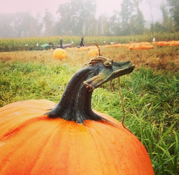 Эту тыкву даже не надо вырезать на Хэллоуин. Она и так похожа на дракона.