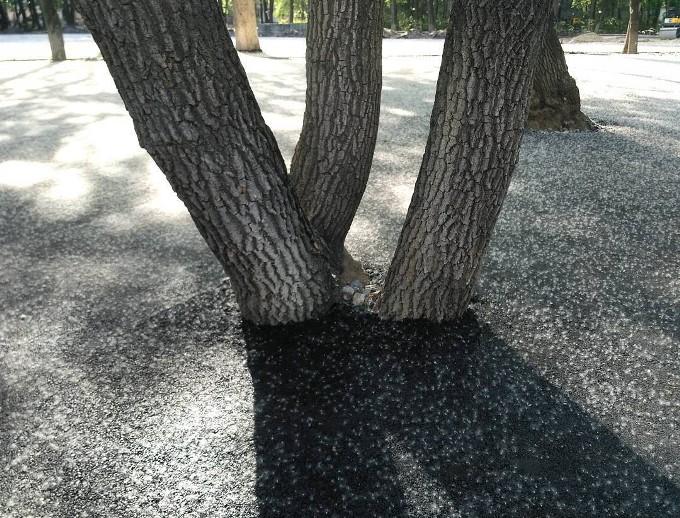 v-tumenskom-skvere-asfalt-polozhyli-vplotnuu-k-derevyam-1