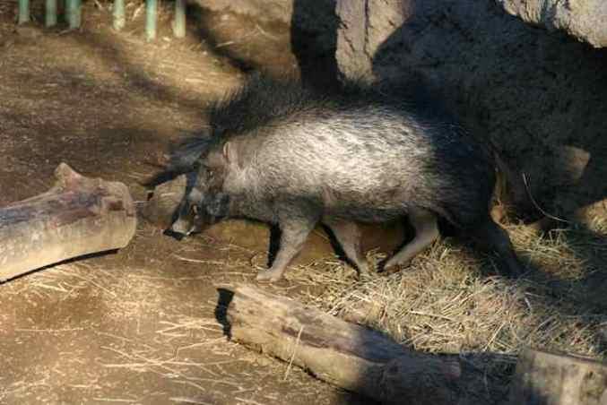 Висайская бородавчатая свинья (Sus cebifrons)