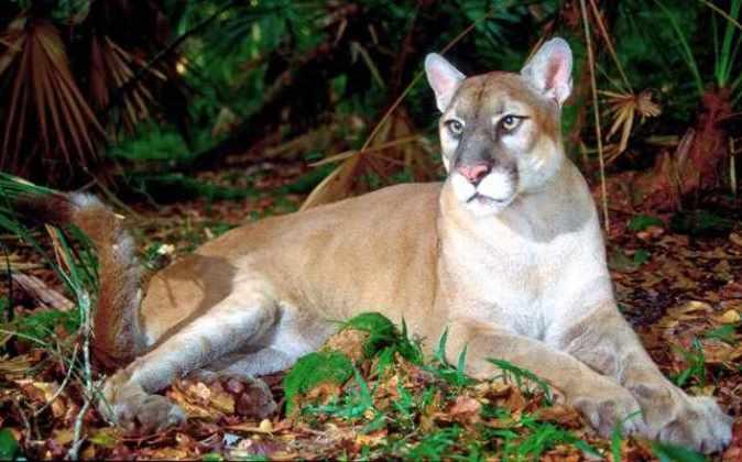 Флоридская пума (Puma concolor coryi)