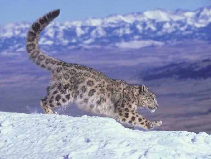 Ирбис, или снежный барс (Uncia uncia, Panthera uncia)
