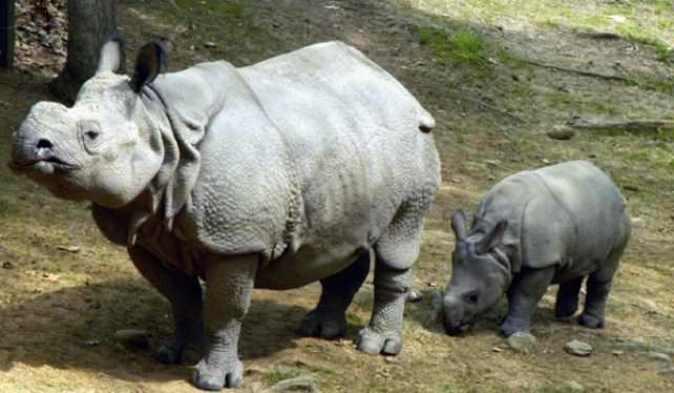 Суматранский носорог (Dicerorhinus sumatrensis)